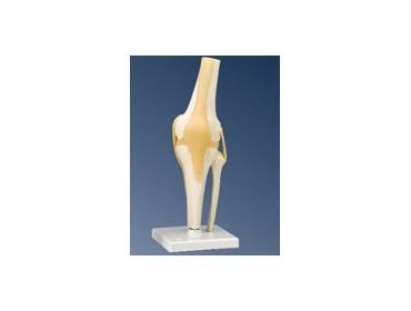Articulation de du genou