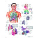 Planche anatomique appareil respiratoire