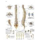 Planche anatomique colonne vertébrale