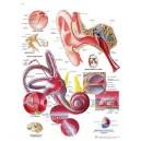 Planche anatomique oreille