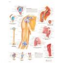 Planche anatomique épaule et coude