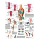 Planche anatomique genou