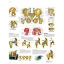 Planche anatomique hanche et bassin
