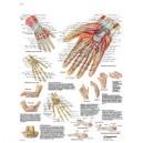 Planche anatomique main et poignet