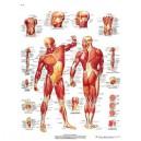 Planche anatomique musculature