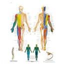 Planche anatomique nerfs spinaux