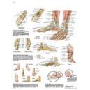 Planche anatomique pied et cheville